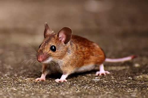 Die Maus hat eine symbolische Bedeutung